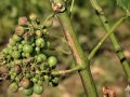 French wine production to fall 10% this year after fierce spring weather