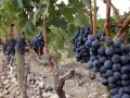 Bad weather takes toll on French wine production