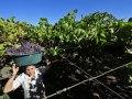 Global wine production falls by 5% due to 'climatic events'