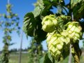 GERMANY OUSTED AS WORLD'S BIGGEST HOP GROWER BY US