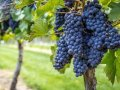 Amid prospects of a bigger than expected crop, the market for California wine grapes remains stable
