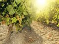 'Catastrophe' for wine lovers as Chablis crop ruined